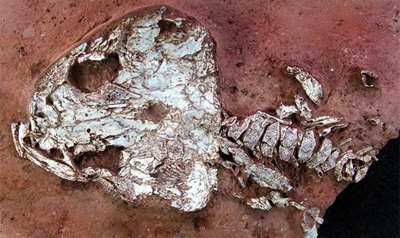 New Species of Fossil Amphibian